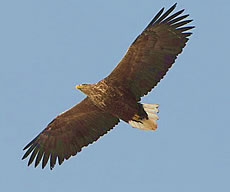Greenland White-tailed Eagle