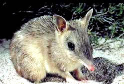 Barred Bandicoot