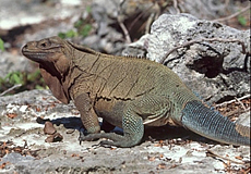 Anegada Ground Iguana