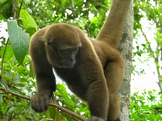 Colombian Woolly Monkey