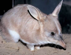 Rabbit Bandicoot