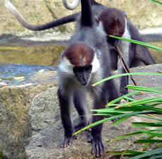 White-collared Mangabey