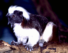 Cotton-top Marmoset