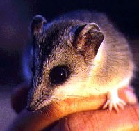 Large Desert Marsupial-mouse