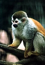 Red-backed Squirrel Monkey