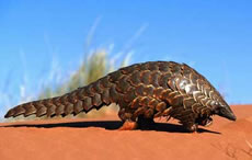 Temnick's Ground Pangolin