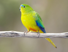 Orange-bellied Parakeet