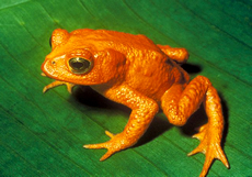 Monte Verde Golden Toad