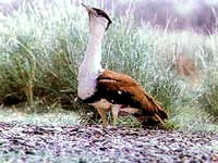 Great Indian Bustard