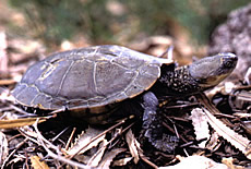 Short-necked Turtle