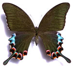 Luzon Peacock Swallowtail