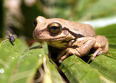 Aquatic Treefrog