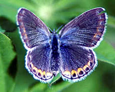 Karner Blue Butterfly Facts - Photos - Earth's Endangered