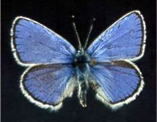 Lotis Blue Butterfly