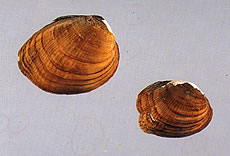 Catspaw Pearlymussel