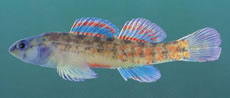 Watercress Darter