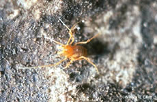 Bee Creek Cave Harvestman