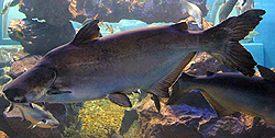 Thailand Giant Catfish