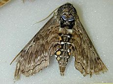 Blackburn's Sphinx Moth