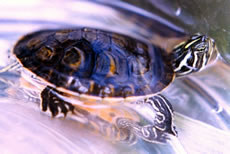 Plymouth Red-bellied Turtle