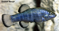 Nevada Pupfish