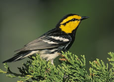 Golden-cheeked Wood Warbler
